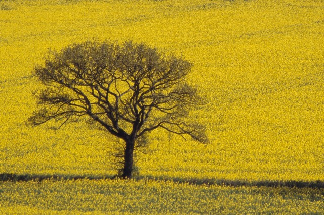 Oak Tree in Field