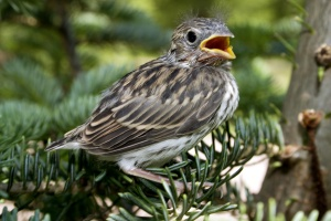 a young chipping sparrow fresh from the nest