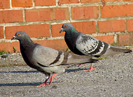 rock_pigeon_glamour1