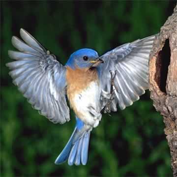 bluebirdbyglobalbirdphotos