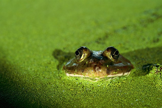 Frog Peeking Above Pond Plant Life