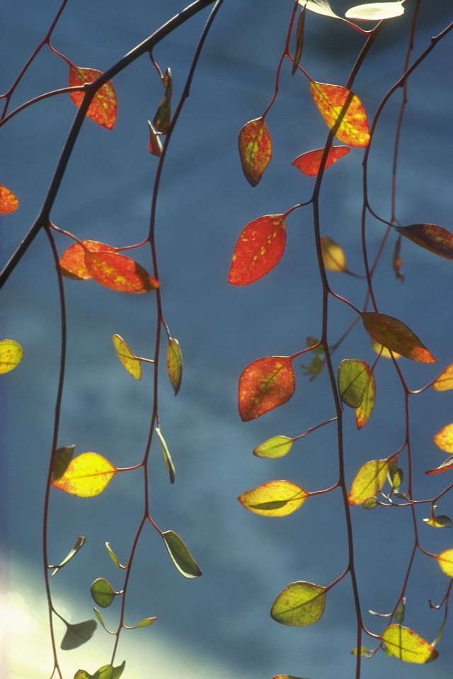 Fall Leaves on Branch New England, USA