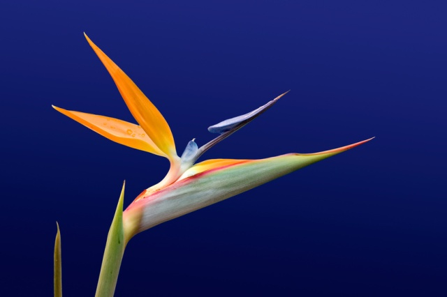 Bird of Paradise against blue.